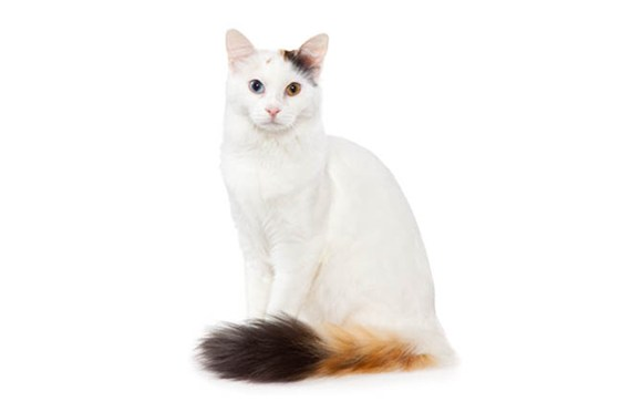 TurkishVan body