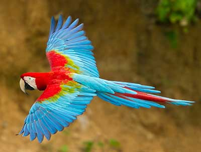 Red and Green Macaw 01